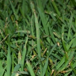 How to Get Rid of Crabgrass Without Chemicals