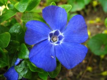 periwinkle-flower