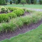 Dwarf-Hamlen-Grass2