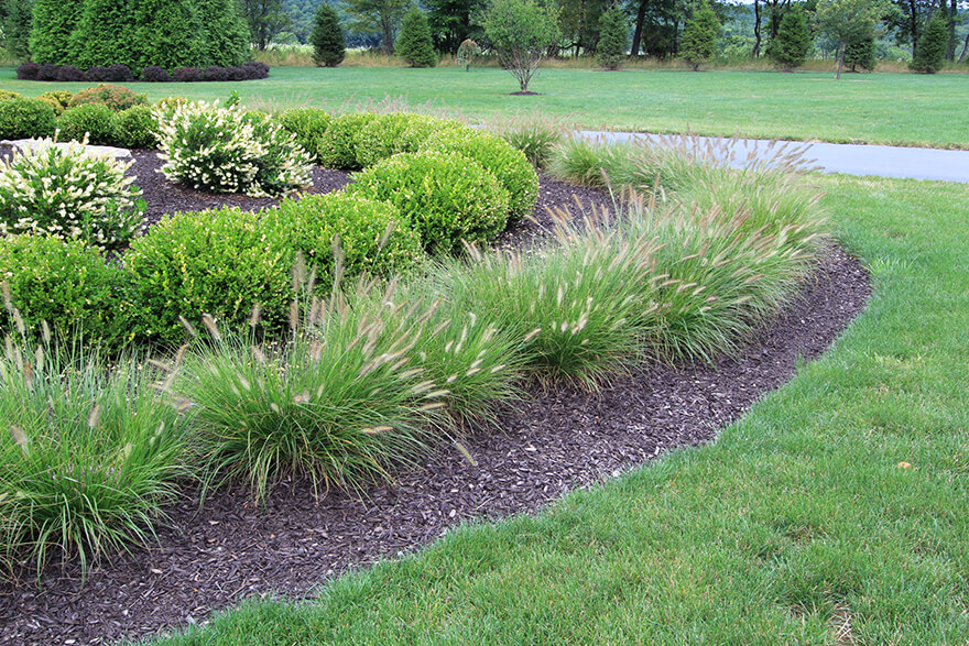Best 5 ornamental grasses for texas landscapes for Blue fountain grass