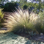 Big-Muhly-ornamental-grass