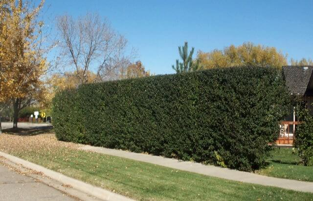 privet-hedge