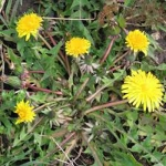 Dandelions: Friend or Foe?