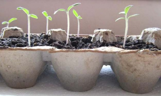 egg-carton-seedlings
