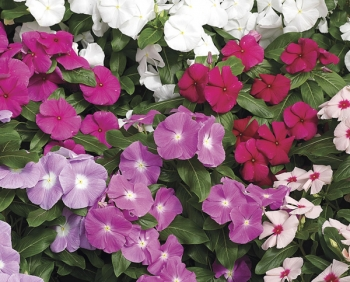 shade loving flower purple cora vinca