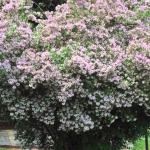 10 Heat Tolerant Shrubs