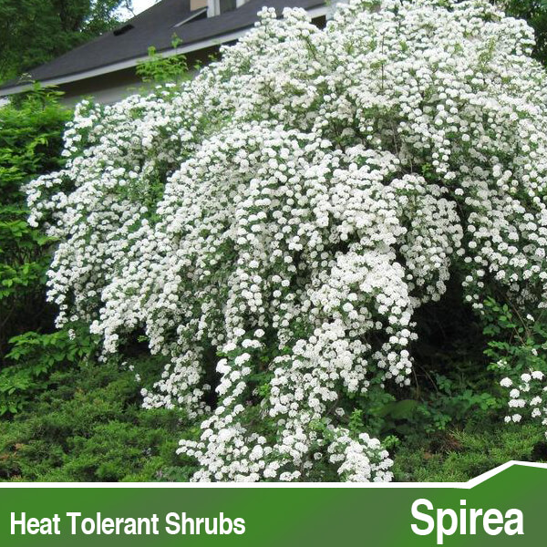 Heat Tolerant Shrubs