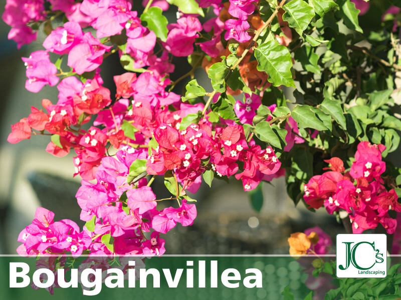 Bougainvillea - Tropical Plants For North Texas
