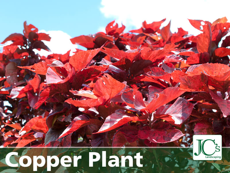 Copper Plant - Tropical Plants For North Texas