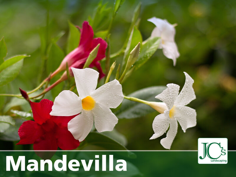 Mandevilla - Texas Tropical Plants