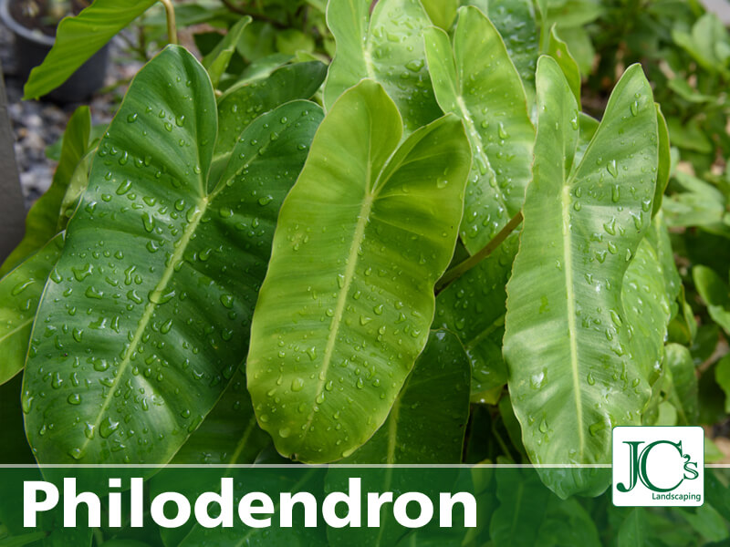 philodendron - Tropical Plant