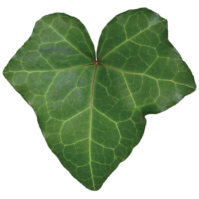 What Causes English Ivy Leaves to Dry Up?