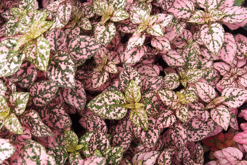 hippo rose polka dot plant