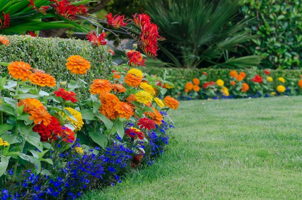 lobelia garden color