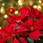 How to Care For Poinsettias During the Holidays