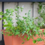 Winter Herbs to Plant in the Shade