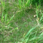 quackgrass weed