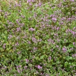 Spring Weeds to Look Out For: Texas Weeds That Overwinter
