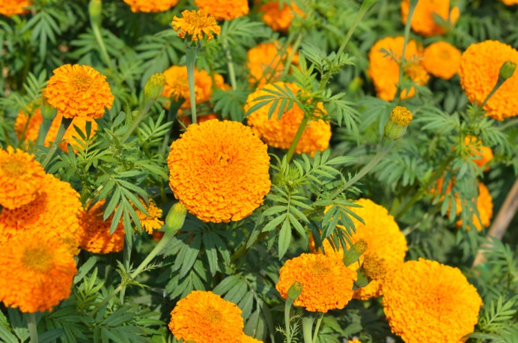 marigold flower