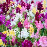 Top 18 Rabbit-Resistant Flowering Plants