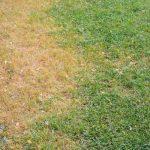 Magnaporthe Poae Lawn Disease