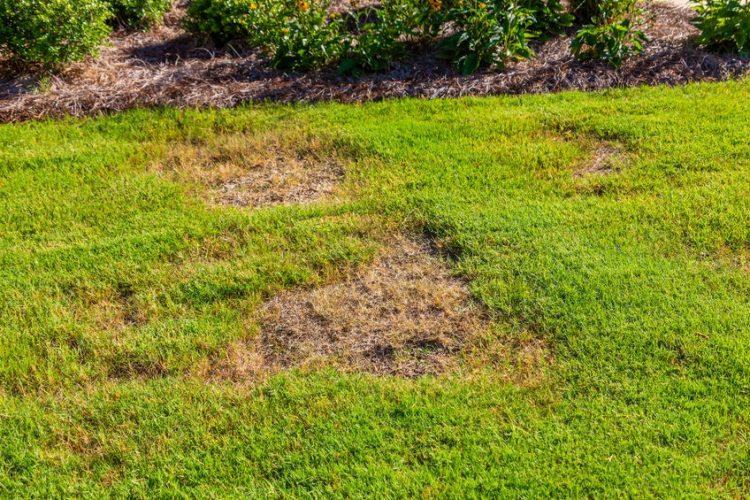 Turf Necrotic Ring Spot Lawn Disease