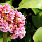 pigsqueak bergenia cordifolia
